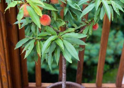 peach-tree-Mountaintop-rentals
